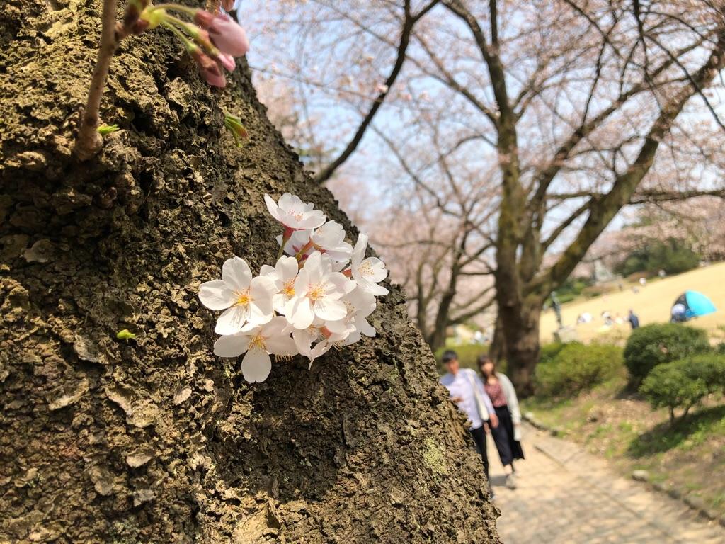 不思議な咲き方の桜